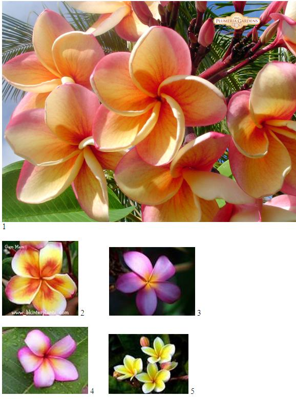 plumeria tattoo designs. When we talk about Hawaiian flower tattoos designs it's primarily about the